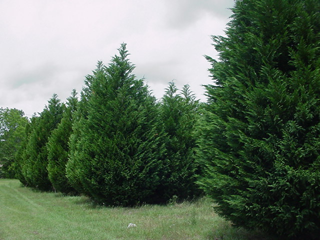 Southern Red Cedar ~ Trees