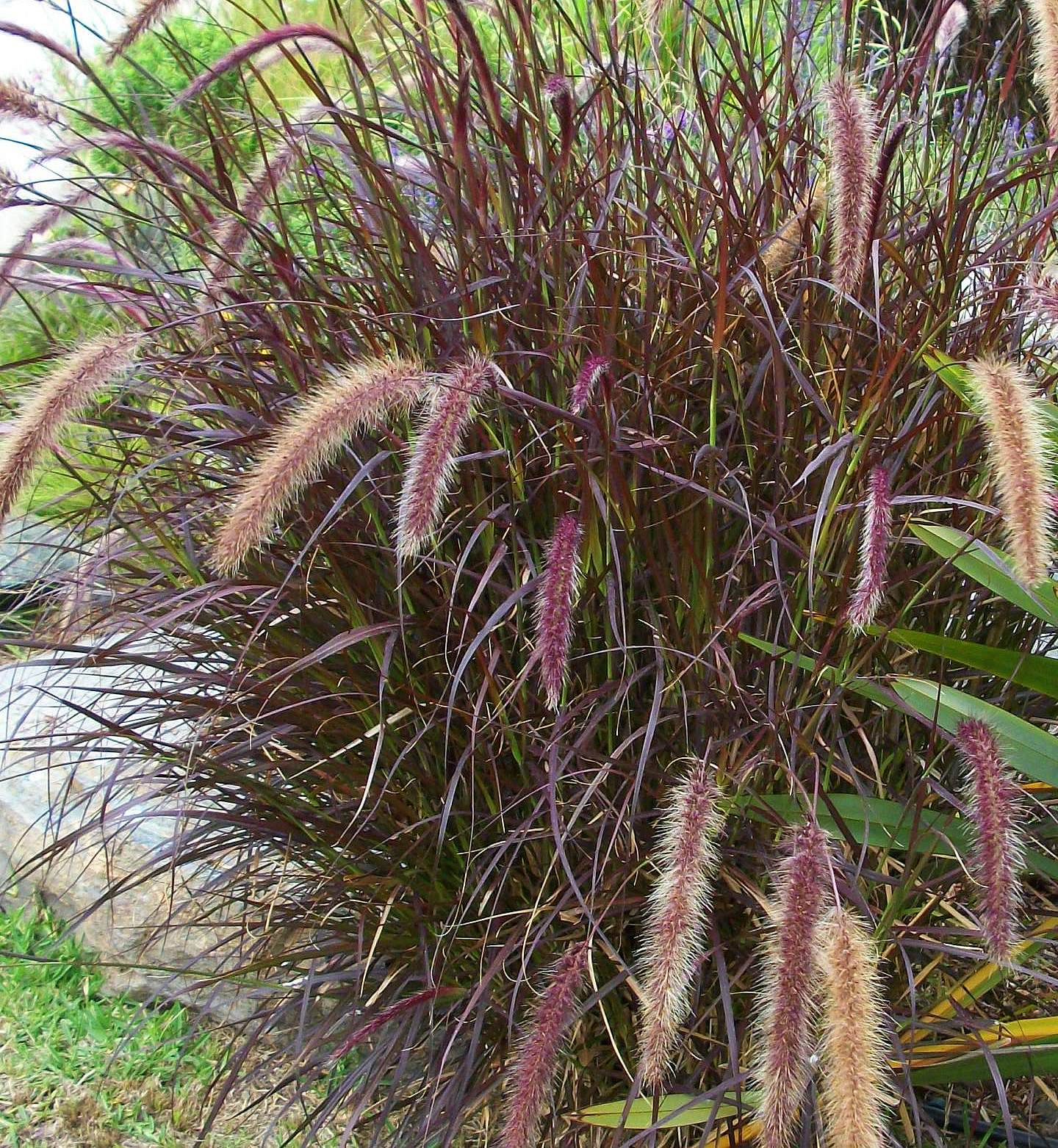 Grasses for Fountain grass for shade